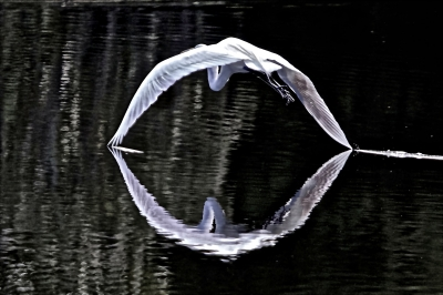 Egret Shark's Mouth Reflection