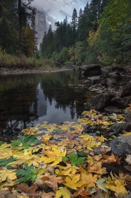 Autumn Leaves, Merced River And El Capitan