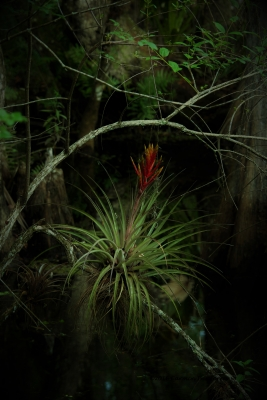 Florida 's Native Bromeliads