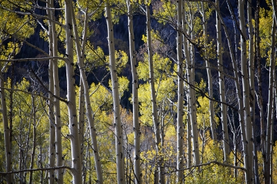 Curtain Of Aspens