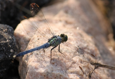 Dragonfly At Pond's Edge