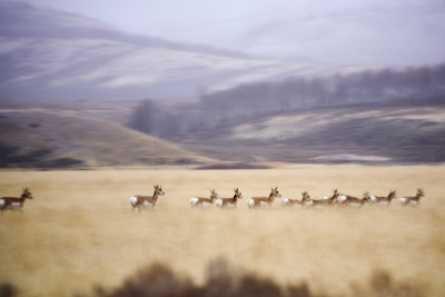 Migrating Pronghorn