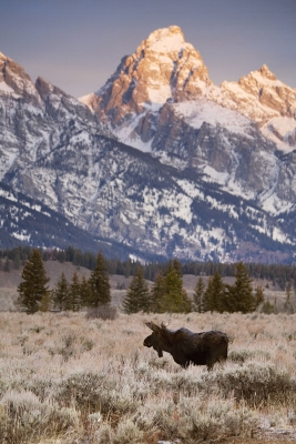 Bull Moose And Grand Teton