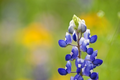 Lonely Bluebonnet