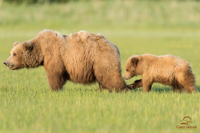 Trying To Trip Mother Bear