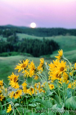 Balsam Root Moonset