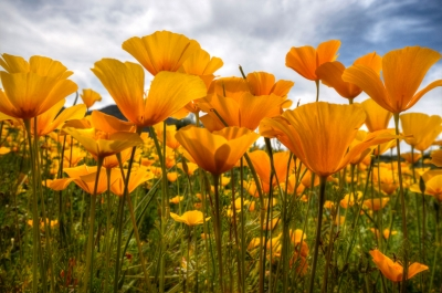 Bring On The Poppies