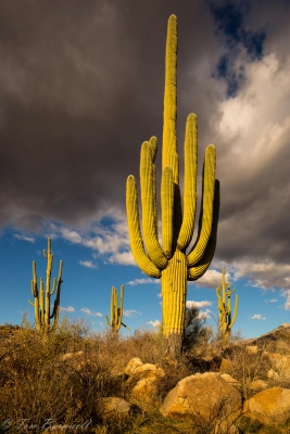Sunset On Saguaros