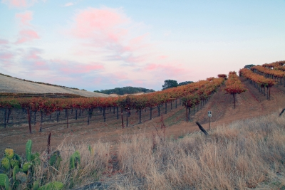 Suisun Valley Vineyard At Sunset
