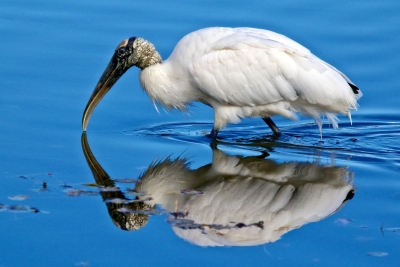 Mirror Image Of A Wood Stork