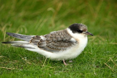 Artic Tern Chick