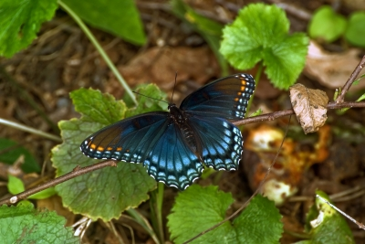 Beautiful Blue Butterfly