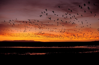 Sunrise & Snowgeese In New Mexico