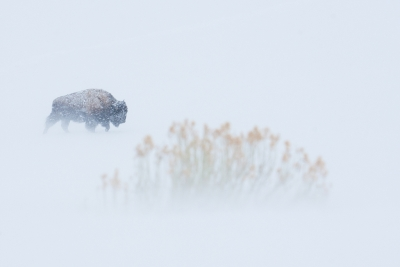Bison During Winter Storm