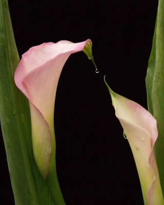 Calla Lily Connection