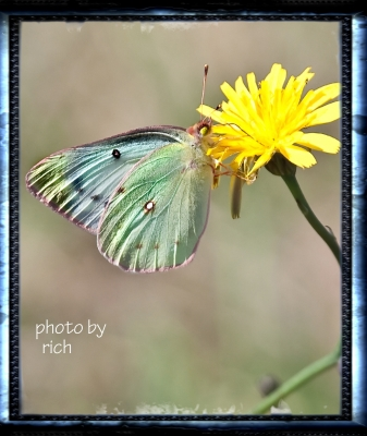 Yellow Flower & Butterfly