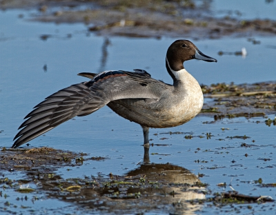 Pintail On Guard