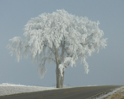 Frost-covered Lone Tree