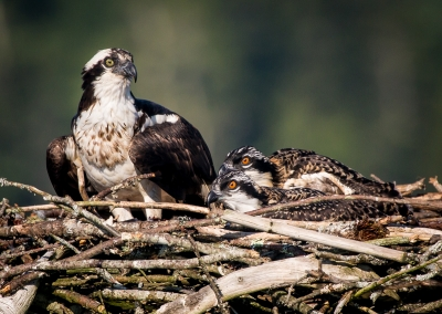 Mother Osprey And Her Chicks