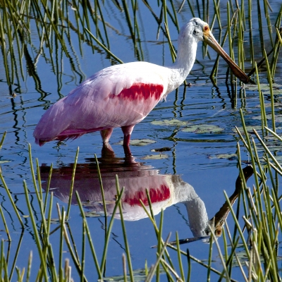 Roseate Spoonbill Reflections