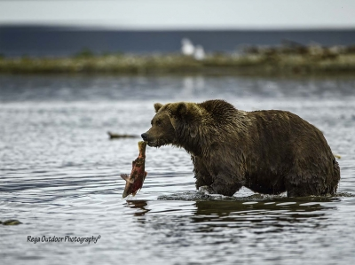 Grizzly At Katmai