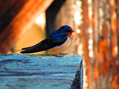 Swallow On The Dock