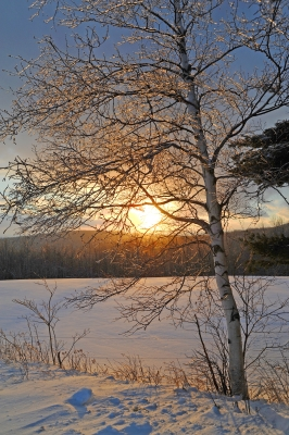 Ice Covered Birch Glowing In The Setting Sun