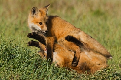 Playful Red Fox Kits