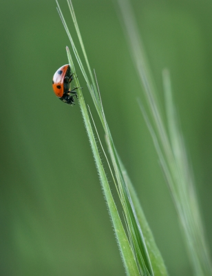 Lady Bug On The Green