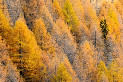 Larches (and Two Firs) From Brata Hut.