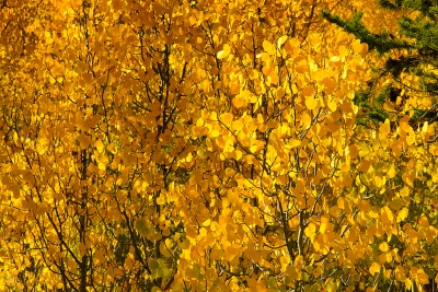 A Thicket Of Aspen Trees