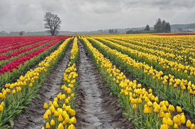 Field Of Red And Yellow Tulips Laconnor, Wa