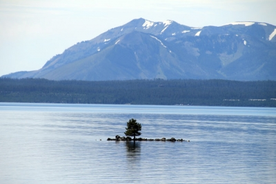 Pine Tree On Lake Yellowstone