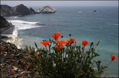 Coastal Poppies