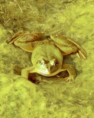 Green Cay Frog