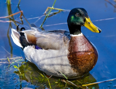 Mallard Duck Stillness