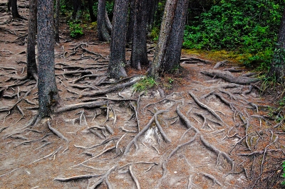 Tree Roots At Sunwapta Falls