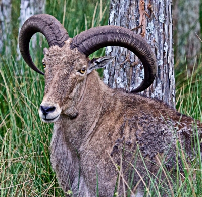 Barbary Sheep In The Woods