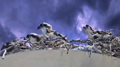 Busy Osprey Nest