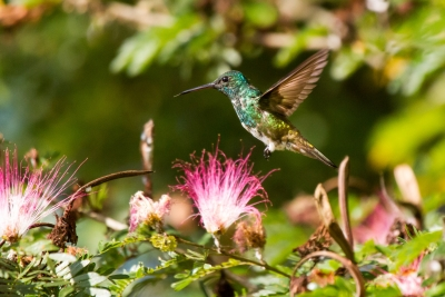 Hummingbird Glory