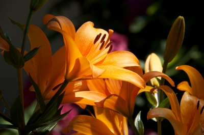 Lilies In The Sun