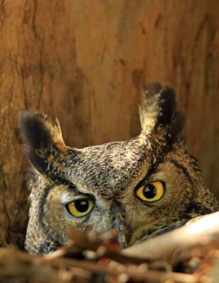 Horned Owl On The Nest