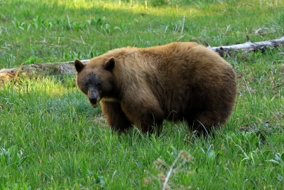 Cinnamon Black Bear At Sequoia National Park