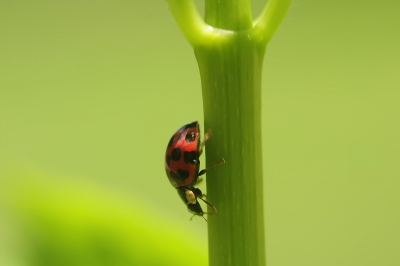 Ladybug In A Hurry