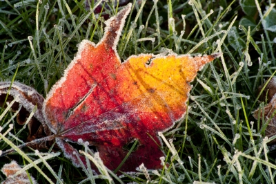 Red & Yellow Leaf In Frost
