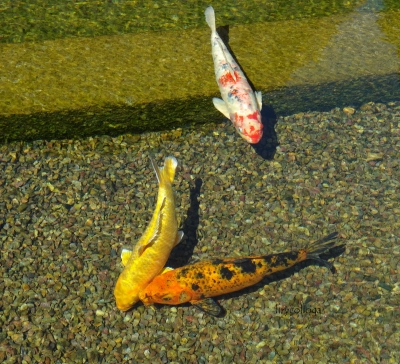 Three Koi In The Pond