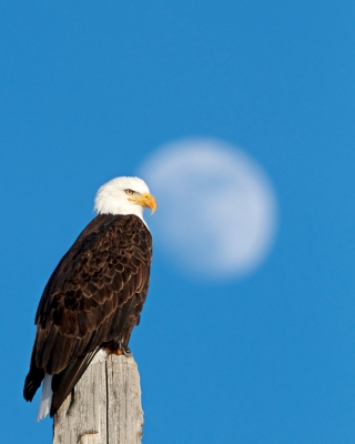 Bald Eagle, Full Moon