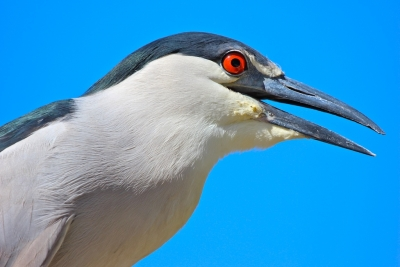 Black-crowned Night Heron Portrait