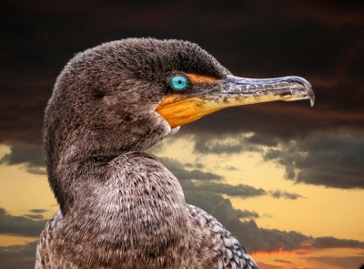 Double-crested Cormorant At Sunset