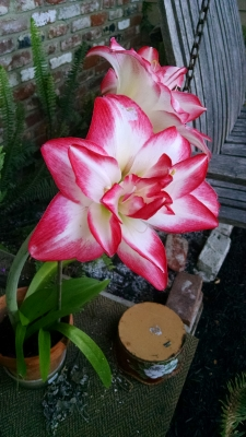 Red And White Lily